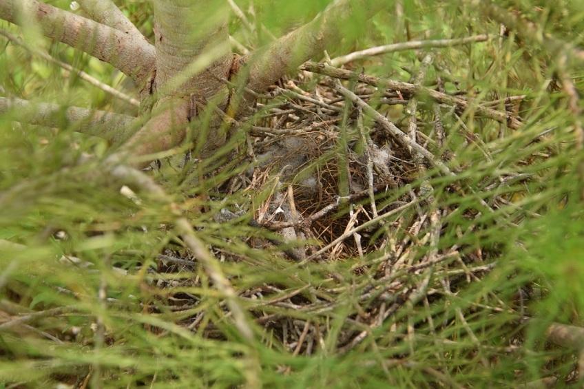 Empty Mockingbird nest