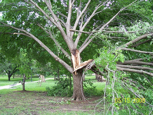 Weather damage to trees at the Texas Capitol