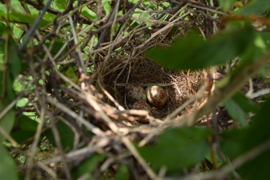 Nest with Mockingbird eggs