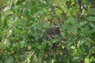 Honeysuckle Vine with nest