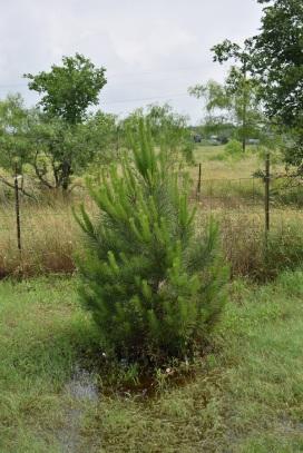 Italian Stone Pine, around 5 feet tall