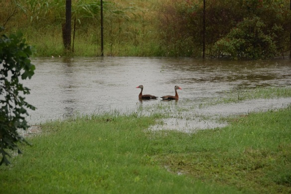 Two Black-bellied Whistling Ducks swimming in my yard because there has been so much rain