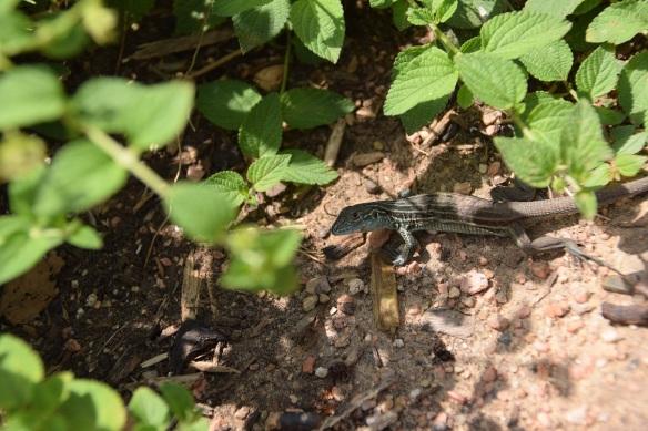 Lizard in a garden