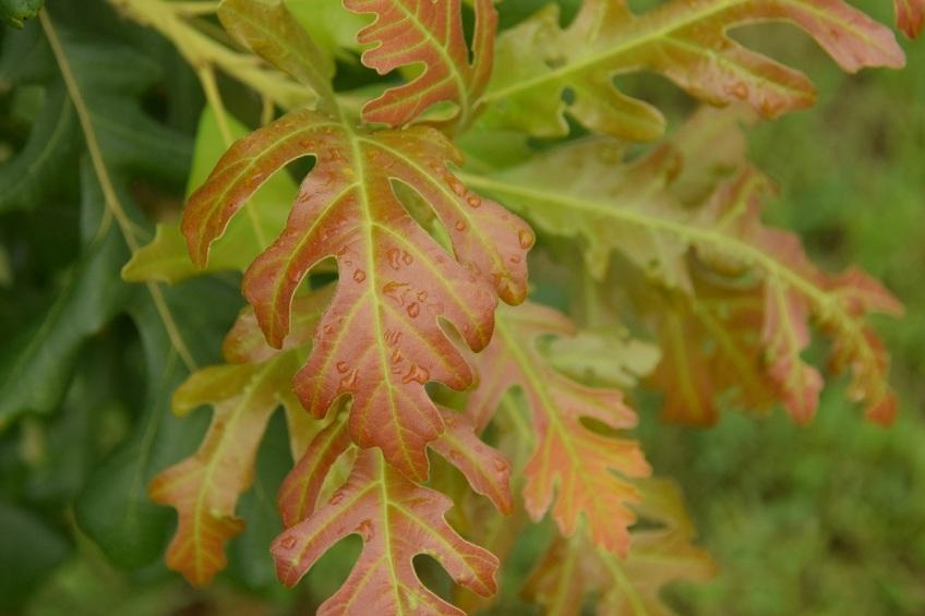 Burr Oak leaf with droplets of rain