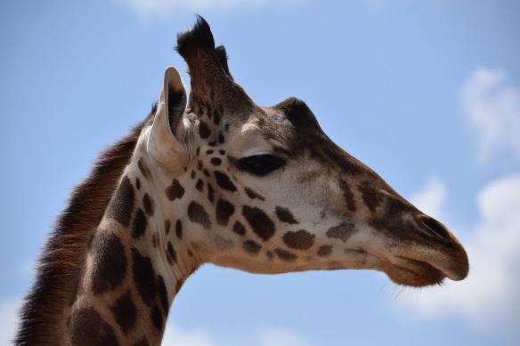 Photo of a giraffe's head, giraffe at the Houston Zoo