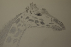 Sketch of a Giraffe head, giraffe at the Houston Zoo