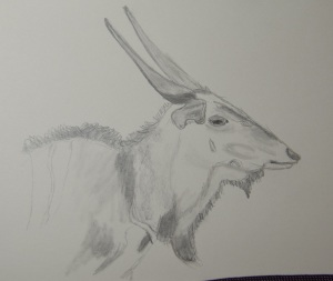 Sketch of an Eastern Giant Eland
