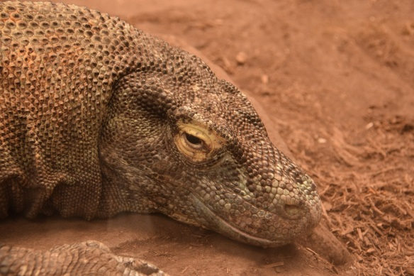 Komodo Dragon at the Houston Zoo