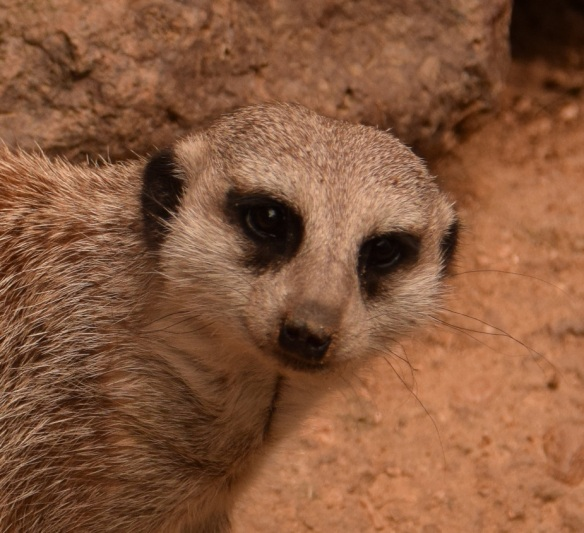 Meerkat at the Houston Zoo