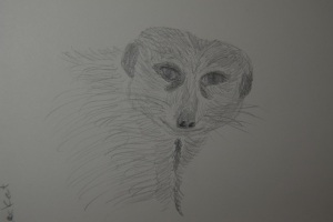 Sketch of the Meerkat from the Houston Zoo