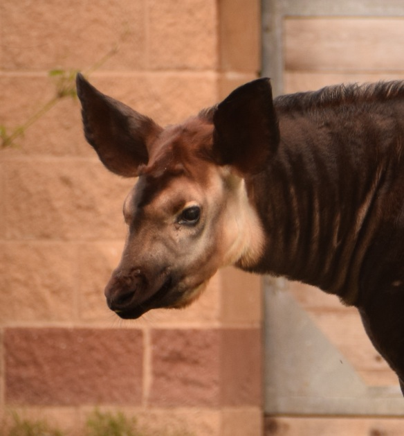 Okapi at the Houston Zoo