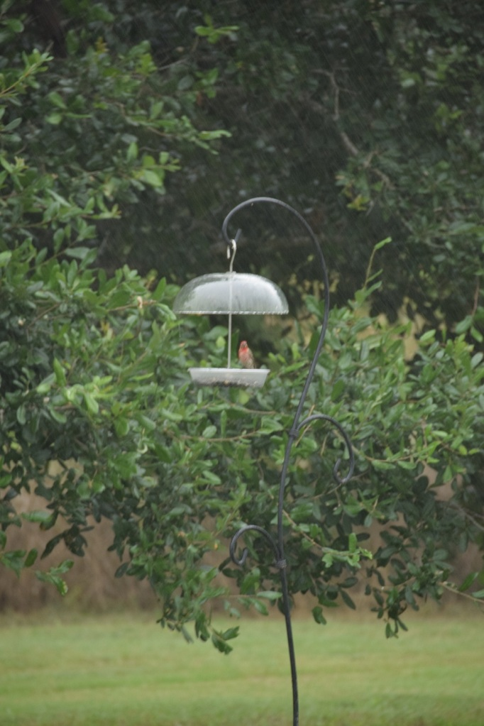 Finch at the feeder in the rain