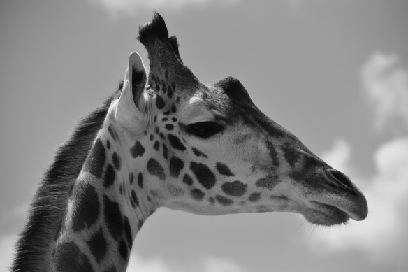 Giraffe at the Houston Zoo