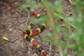 "Yes, that *is* ""red and yellow, kill a fellow"" (coral snake). It went on its way without incident. Sorry for the blurry photo."