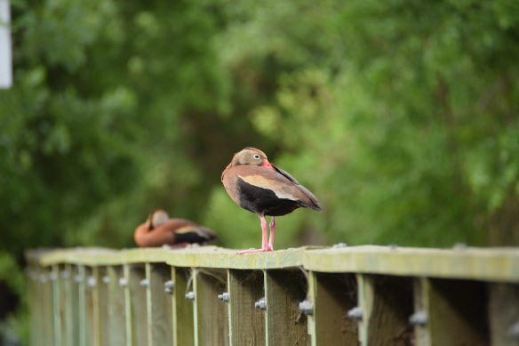 Two black-bellied whistling tree ducks sitting on wooden bridge railing, taking a nap