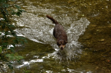 A dog enjoying the swim in Bull Creek