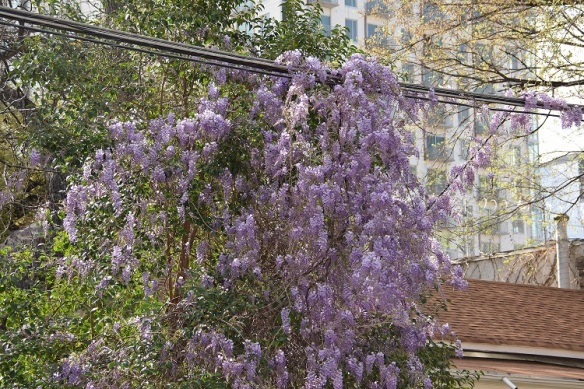 Wisteria plant in bloom, hanging over power lines