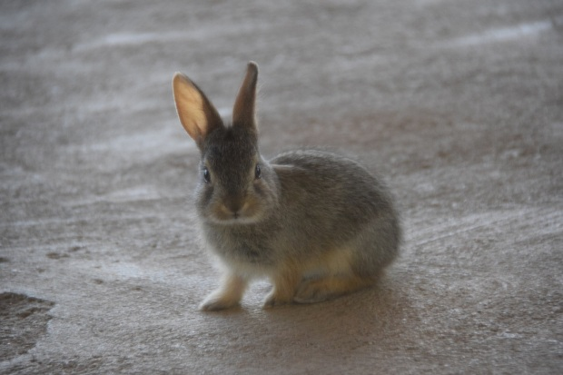 Baby rabbit looking my direction