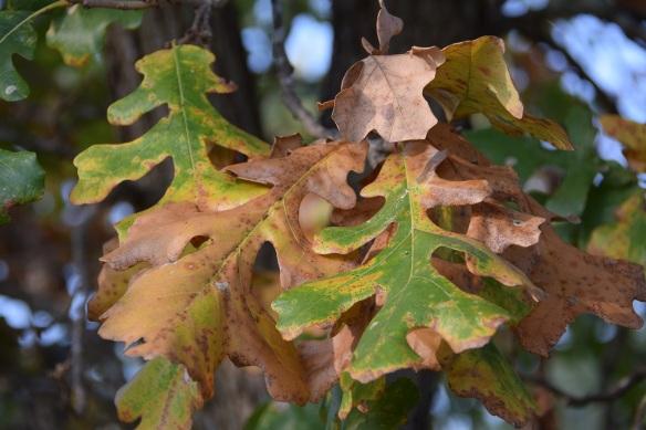 Burr Oak leaf turning brown