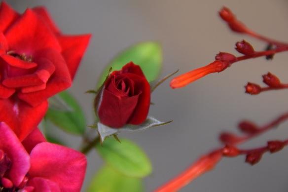 A miniature rosebud