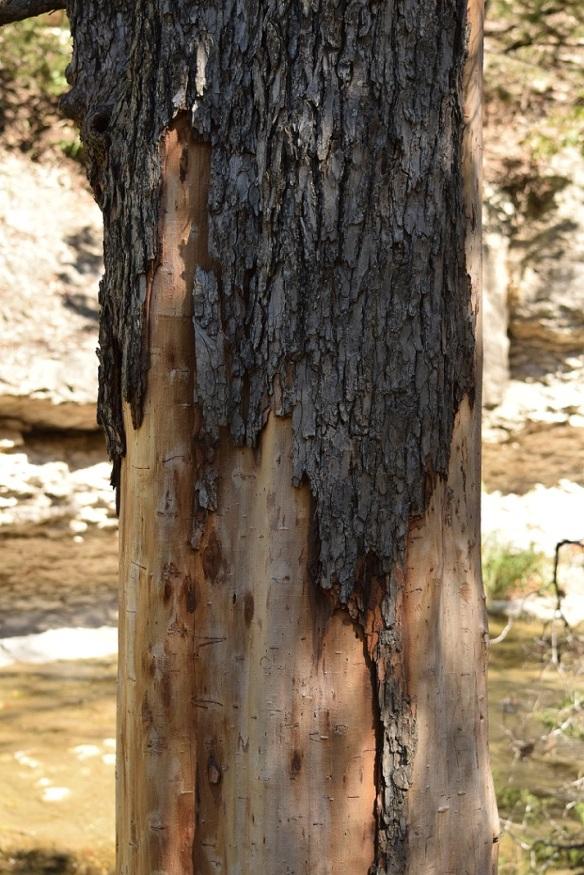 A tree in Chalk Ridge Falls