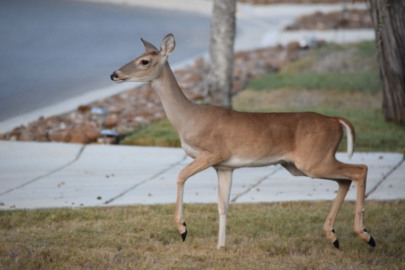 A white-tailed deer in someone's front yard in New Braunfels, Texas