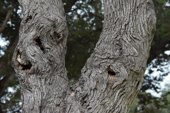 A gnarled tree with holes looking spooky