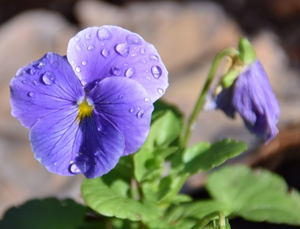 A purple flower with morning dew