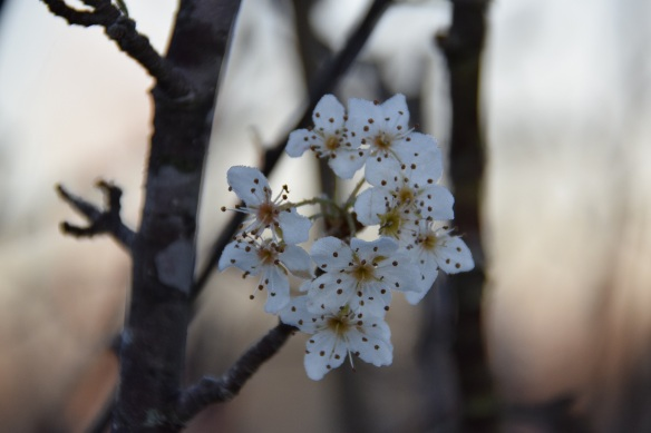 Bradford Pear blooming in mid-November 2015
