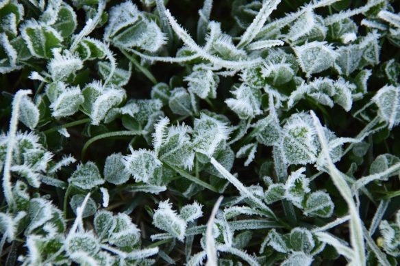 Clover covered with frost
