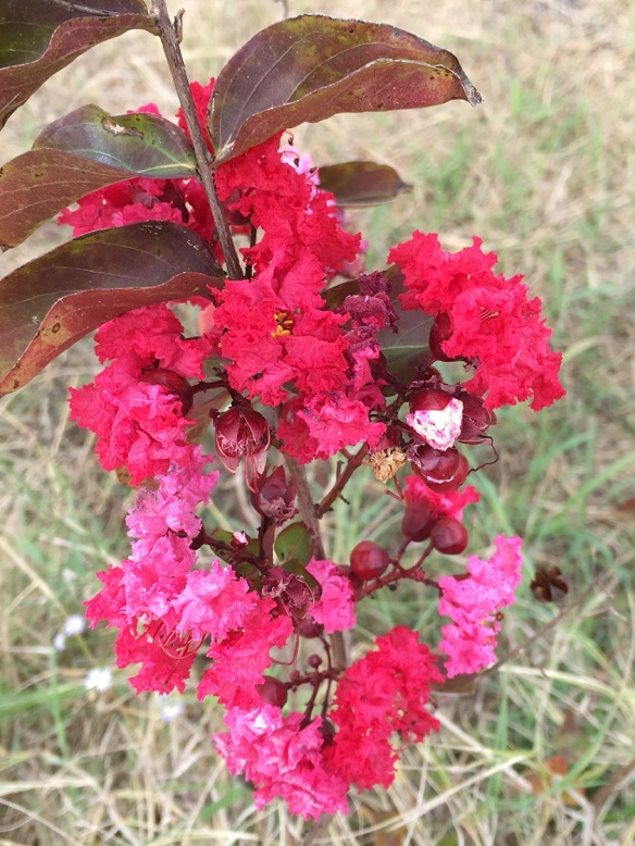 A blooming Crepe Myrtle tree, late in the season
