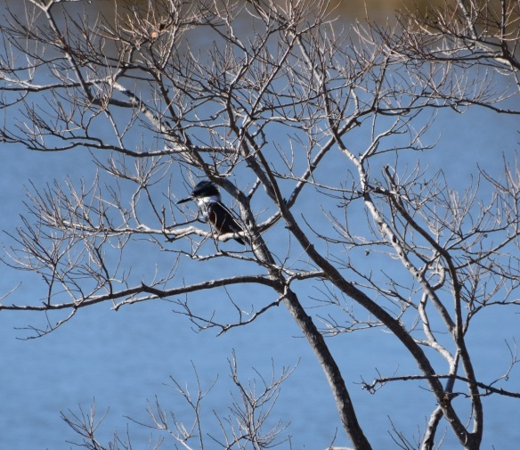 Belted Kingfisher (2)s