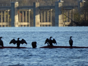 Cormorants (3)s
