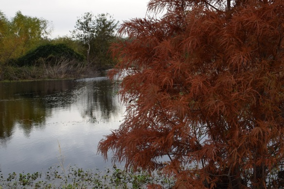 Cypress Tree (21)s