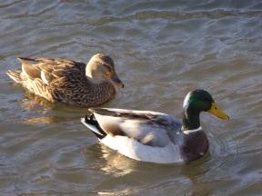 Mallard Ducks 1s