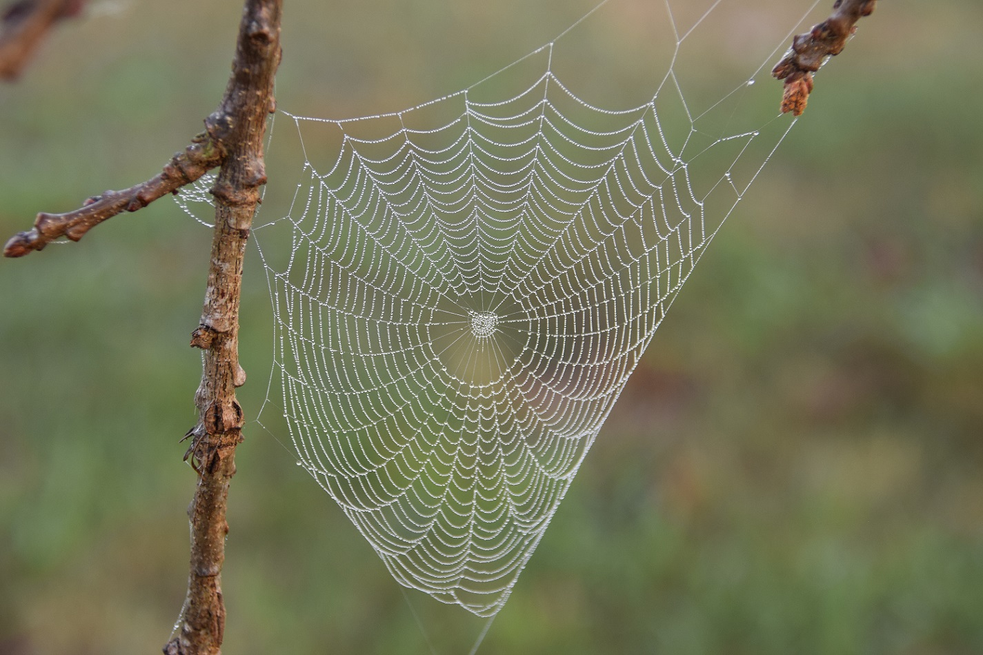 A spider web on the Burr Oak tree