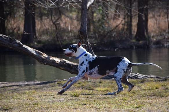 A happy Harlequin Great Dane