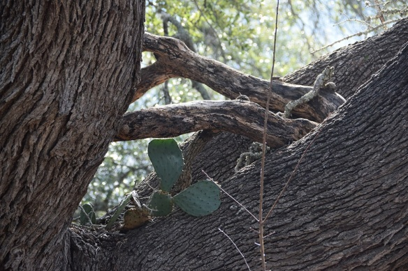 A cactus growing in the crook of a tree trunk.
