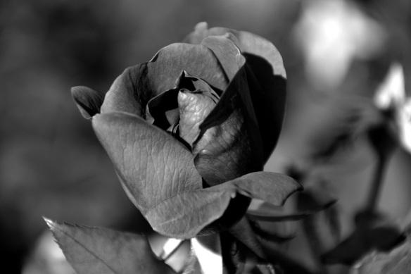 Barbara Bush rose garden (1) B&Ws