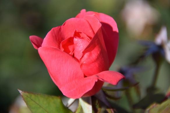 Barbara Bush rose garden (1)s