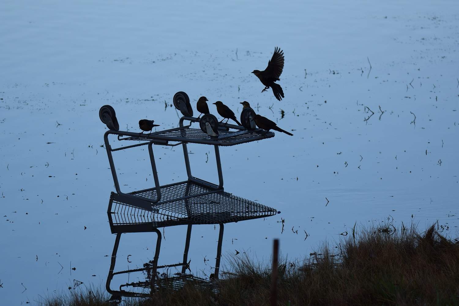 Grackles and shopping cart s