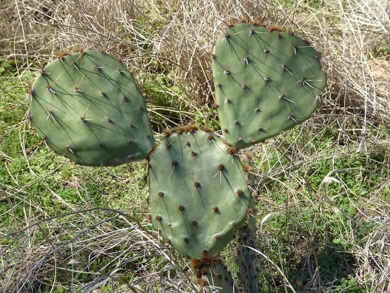 aa Cactus Mickey Mouse s