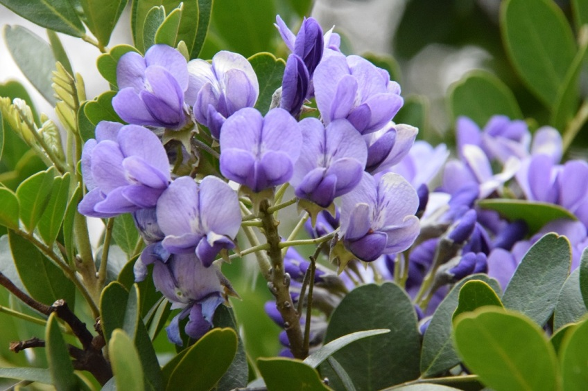 Mountain Laurel bloom. Smells so good.