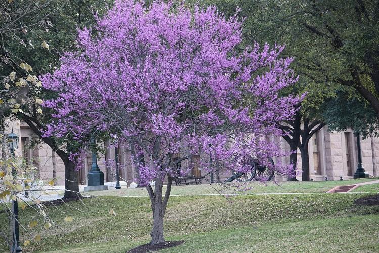 Redbud tree.