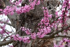 aa Redbud Blooms (2)s