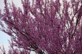 aa Redbud Blooms (8)s