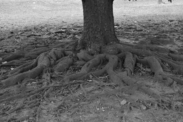 Magnolia Tree Roots