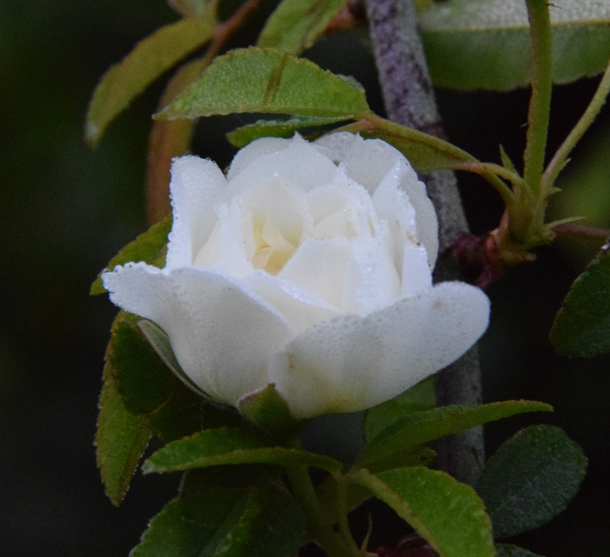 a White Lady Banks in Bloom 2016 (2)a