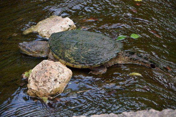 aa Snapping Turtle (1)s