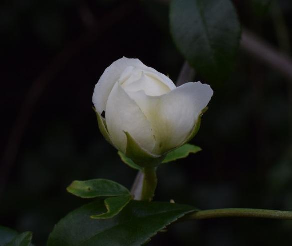 aa White rosebud s